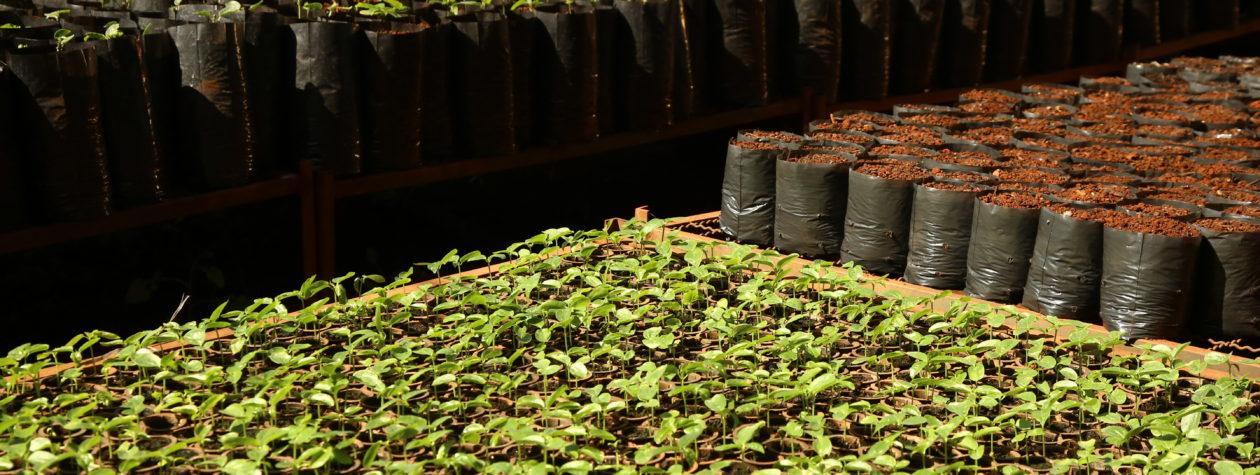Reestruturado pela prefeitura, viveiro já  produz mudas frutíferas, nativas e ornamentais