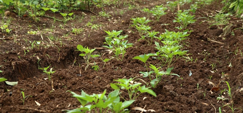 Agricultura investe em mudas frutíferas,  hortaliças e tubérculos no Viveiro
