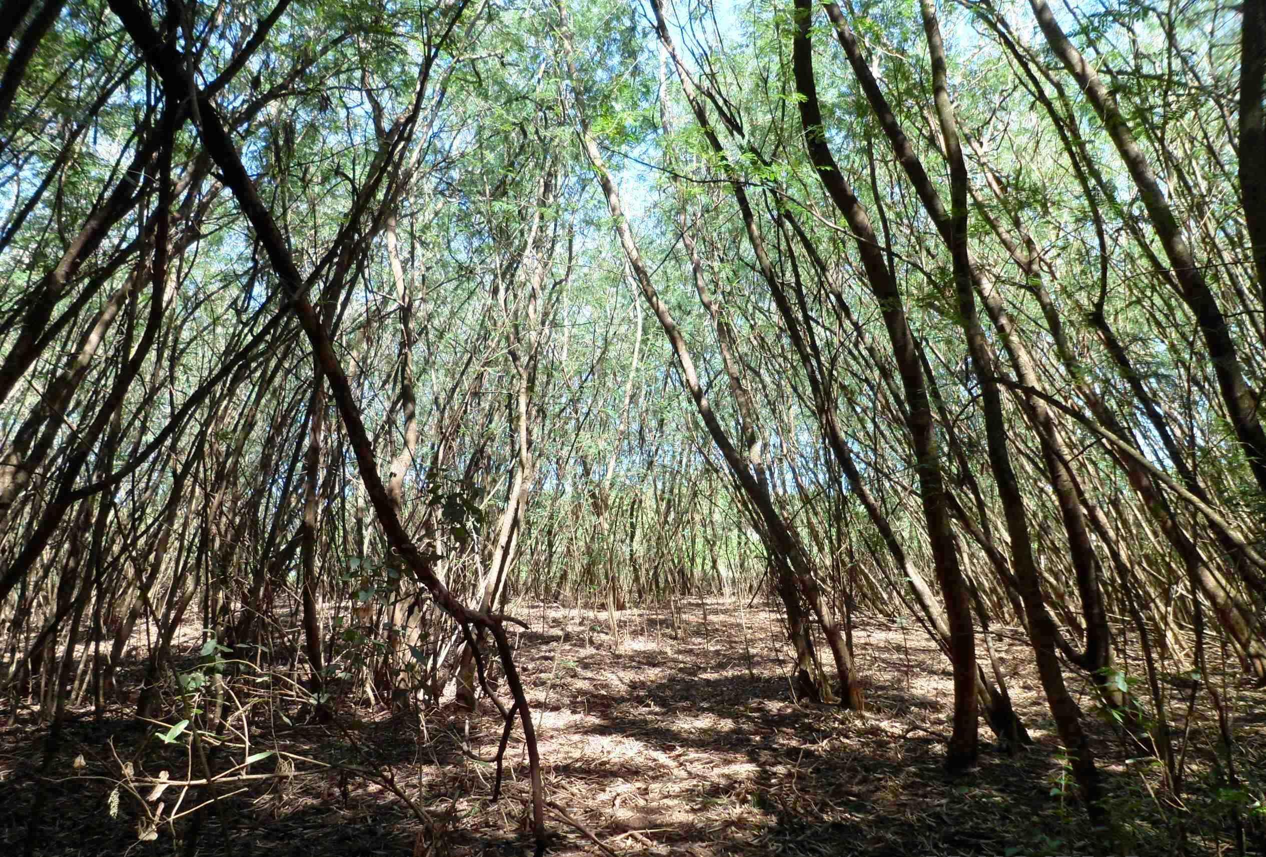 Semsur fará restauração ecológica de áreas  ocupadas por leucenas no Parque Arnulpho Fioravanti